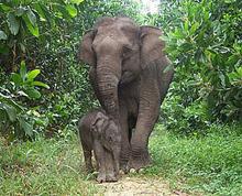 elefante-sumatra