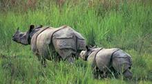 rinoceronte-di-giava