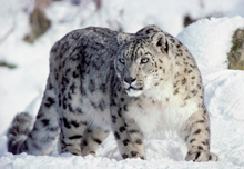 snow-leopard-5