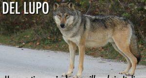 Ibridi di lupo: in Italia è illegale detenerli e allevarli. Qual è la situazione in Italia?